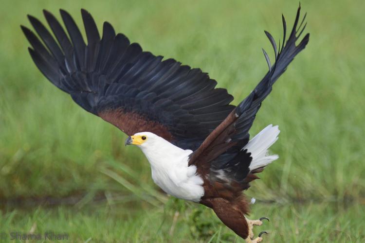 fish-eagle-botswana-safari-travel