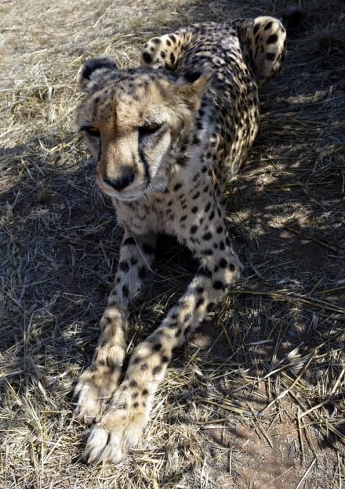 Samira Cheetah