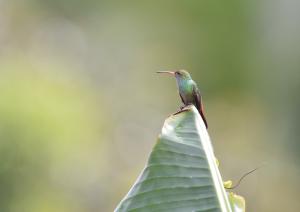 Humingbird 2 crop